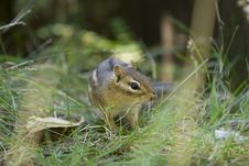 Free Chipmunk In The Grass Royalty Free Stock Photos - 3713418