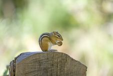 Free Chipmunk Stock Photo - 3713450