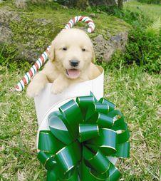 Free Christmas Golden Retriever Stock Image - 3715831