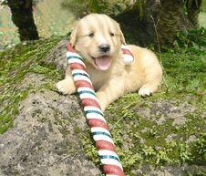 Free Christmas Golden Retriever Royalty Free Stock Photography - 3715837