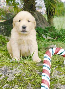 Free Christmas Golden Retriever Stock Photos - 3715893