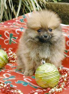Free Pomeranian Puppies Royalty Free Stock Image - 3715986