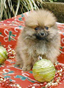 Free Pomeranian Puppies Royalty Free Stock Image - 3715986