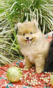 Free Pomeranian Puppy Stock Image - 3716051
