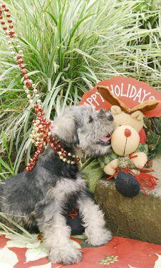 Free Schnauzer Puppy Stock Photo - 3716070