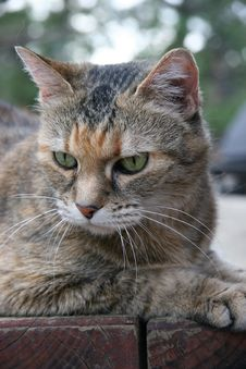 Tiger Cat With Green Eyes Royalty Free Stock Photography