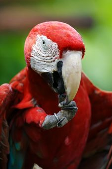 Free Scarlet Macaw Royalty Free Stock Photos - 3717338