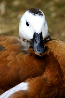 Free African Shelduck Royalty Free Stock Photo - 3717415