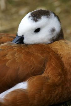 Free African Shelduck Stock Images - 3717434