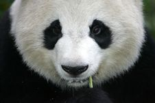 Free Giant Panda Royalty Free Stock Image - 3717446