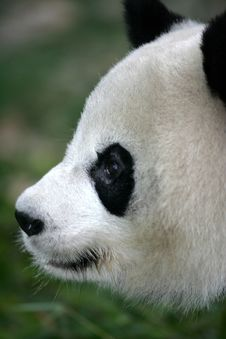Free Giant Panda Royalty Free Stock Photos - 3717468