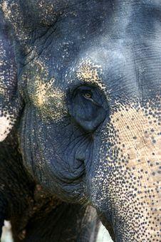 Free Asian Elephant Stock Image - 3717761