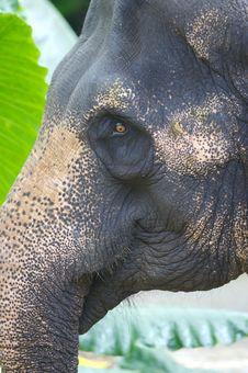 Free Asian Elephant Stock Images - 3717784