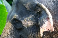 Free Asian Elephant Royalty Free Stock Photo - 3717815