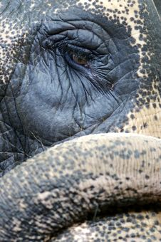 Free Asian Elephant Royalty Free Stock Photo - 3717825