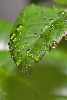 Free Drops On Leaf Royalty Free Stock Photos - 3718358