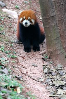 Free Red Panda Stock Images - 3718494