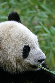 Free Giant Panda Royalty Free Stock Photos - 3718528