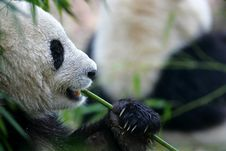 Free Giant Panda Stock Images - 3718544