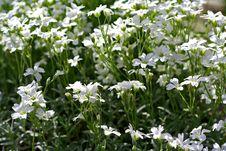 Free White Flowers Royalty Free Stock Photos - 3718558