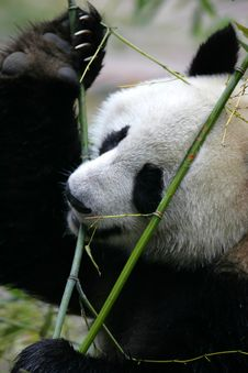 Free Giant Panda Stock Photo - 3718590