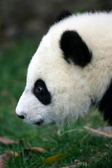 Free Giant Panda Royalty Free Stock Photo - 3718645