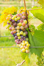 Free Wine Grapes Stock Images - 37148234