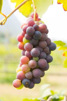 Free Wine Grapes Stock Photography - 37148332