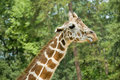 Free Giraffe Sticking Out Tongue Royalty Free Stock Images - 3724939