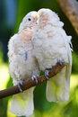 Free Whisper Parrots Stock Photos - 3728603