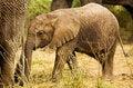 Free Baby Elephant Royalty Free Stock Photo - 3729325