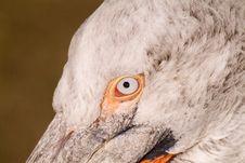 Free Dalmatian Pelican Stock Image - 3720781