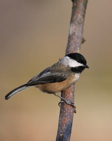 Free Black-capped Chickadee Royalty Free Stock Photography - 3721477