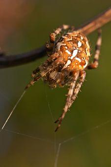 Free Spider Stock Photos - 3721523
