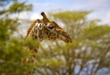 Free Giraffe Head Stock Image - 3721561