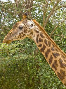 Free Giraffe Royalty Free Stock Images - 3721799