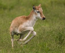 Spring Fawn Stock Images