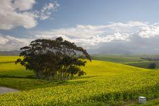 Canola Fields Stock Image