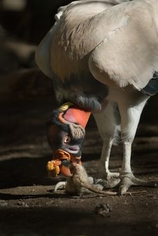 King Vulture Eating Royalty Free Stock Images