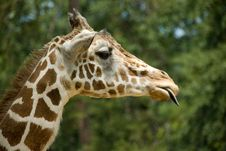 Free Giraffe Sticking Out Tongue Royalty Free Stock Photography - 3724667