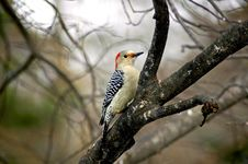 Free Woodpecker 2 Royalty Free Stock Photo - 3725125