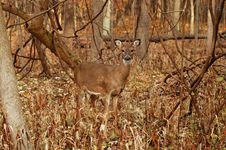 Free Doe 6 Stock Photography - 3725212
