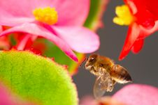 Free Bee With Flowers Royalty Free Stock Photography - 3725417