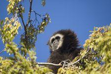 Free White Handed Gibbon Stock Photos - 3725553