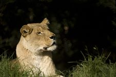 Free Lioness Stock Photography - 3725602