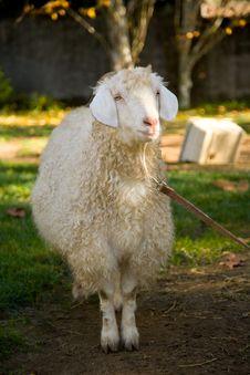 Free Goat Royalty Free Stock Image - 3725816