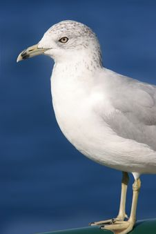 Free Seagull Stock Image - 3726401