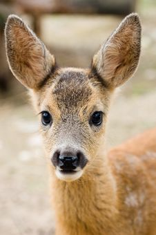 Small Dappled Deer Royalty Free Stock Images