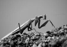 Free Mantis Stock Photography - 3728442