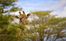 Free Giraffe Head Royalty Free Stock Photo - 3729315